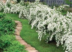 Они зарекомендовали себя как кустарники цветущие все лето, зимостойкие, так как на боятся заморозков. Цветение начинается в мае и прекращается с первыми морозами. Эустома – очень привлекательное растение с сизыми, словно покрытыми воском, листьями и крупными воронковидными.