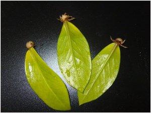 Замиокулькас размножение в домашних условиях