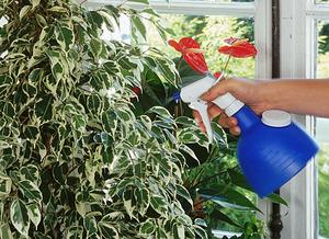 Правила выращивания фикуса бенжамина