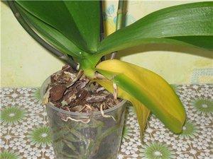 Нижние листья у орхидеи пожелтели что делать