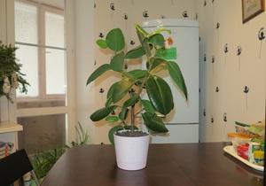 Особенности выращивания и размножения фикусов в домашних условиях