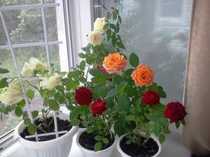 Особенности выращивания и размножения роз в домашних условиях