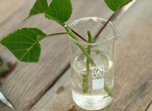 Способ размножения роз отращиванием корней черенков в воде