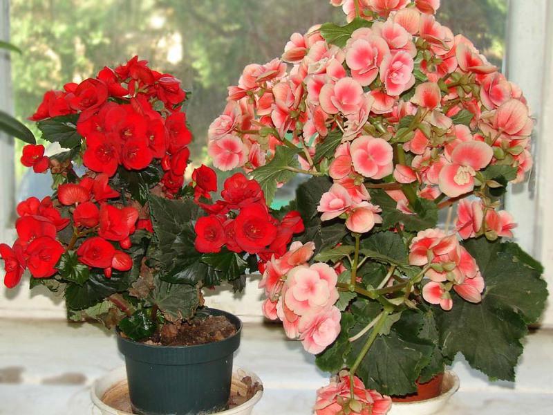 Какие существуют виды бегоний разновидности цветов и названия, особенности сорта, правила
