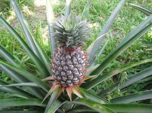Как растет ананас в картинках