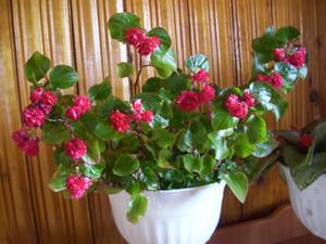 Комнатный цветок бегония: уход в домашних условиях с фото 21
