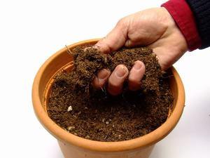 Пеларгония выращивание из семян в домашних условиях