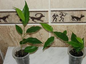 Как правильно выращивать фикусы Бенджамина правила выращивания, почему не растёт, пересадка и
