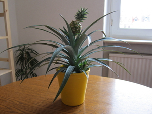 Особенности выращивания ананаса в домашних условиях