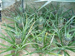 Характерное описание растений ананасов