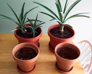 Описание метода пересадки ананаса в домашних условиях