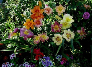 Лилейники сорта