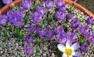 Цветущие крокусы