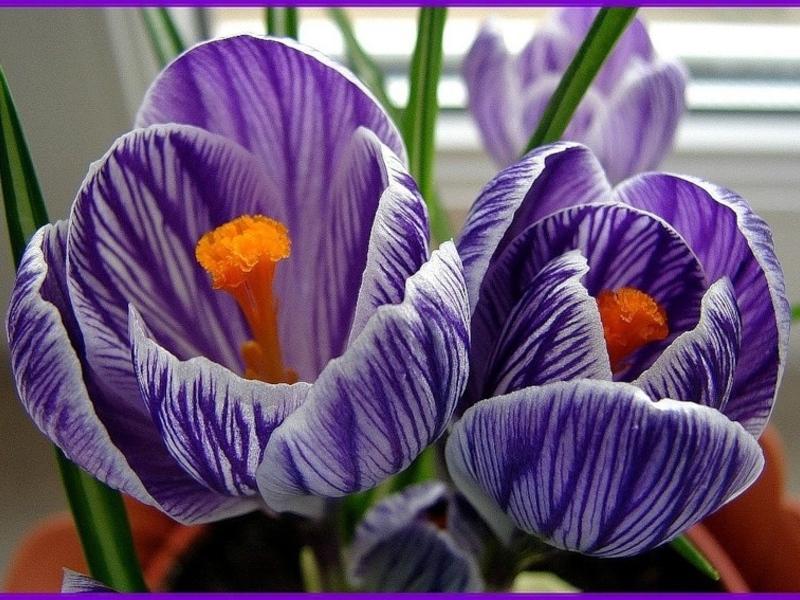 Цветы крокусы и их виды