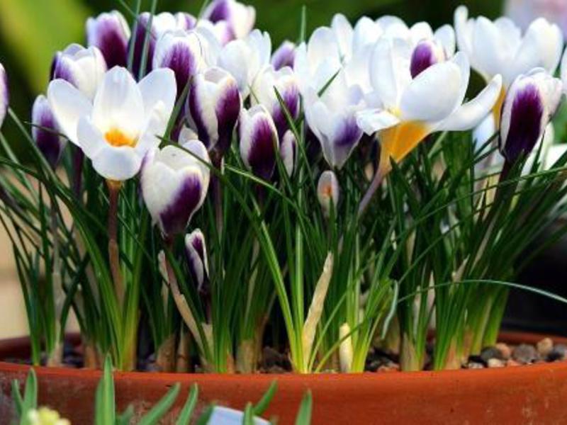 Цветок крокусы уход