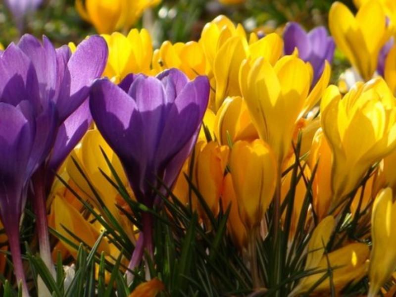 Описание цветка крокус