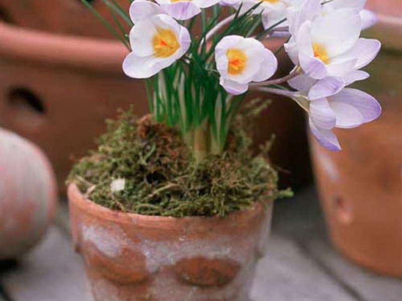 Крокусы посадка как домашний цветок