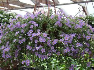 Бакопа - это одно из новых растений для подвесных корзин