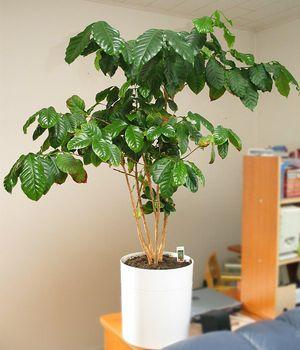 Как вырастить кофейное дерево