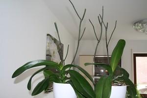 Как правильно обрезать орхидею после цветения с видео
