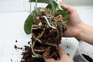 Уход за орхидеей после цветения нужно ли обрезать цветонос, как лучше это сделать