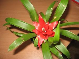 Посадка и уход за гузманией правила выращивания, что приносит в дом, особенности ухода и фото цветка