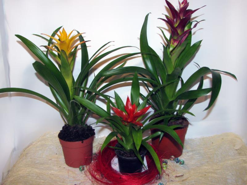 85Фото цветка гузмания уход в домашних условиях