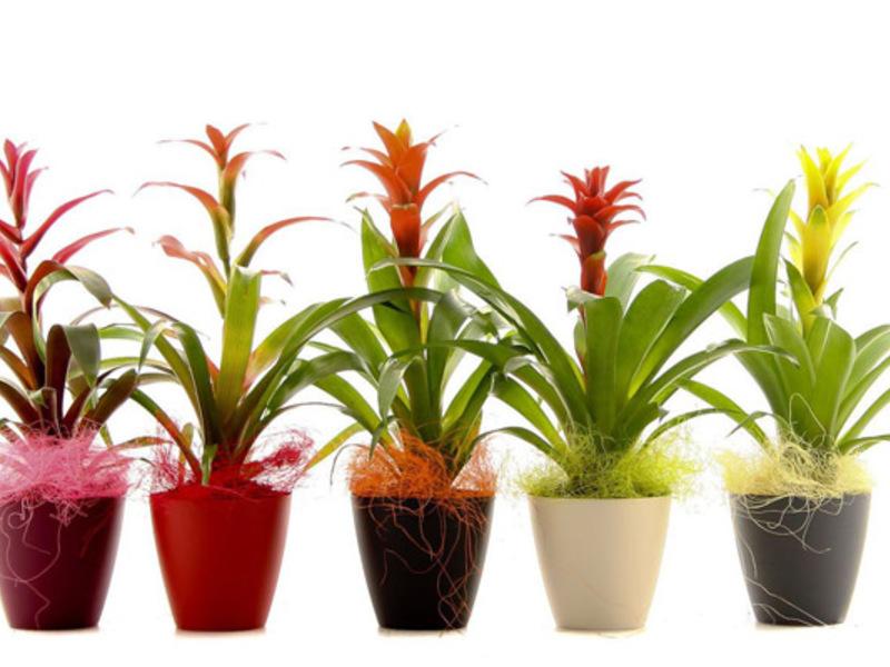 Комнатные цветы и уход за гузмания в домашних условиях