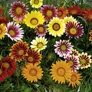 Цветы гацания фото