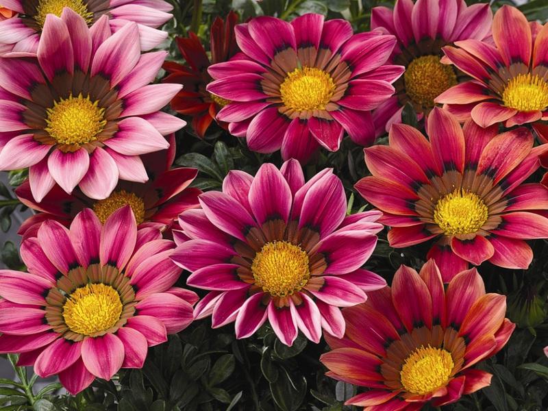 Посадка и уход за гацанией на клумбе описание и виды, особенности выращивания, фото цветков