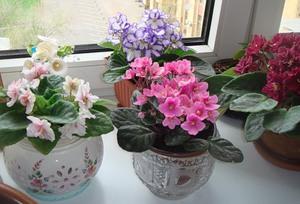 Особенности выращивания фиалок в домашних условиях