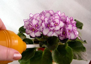 Выращивание фиалок в домашних условиях видео