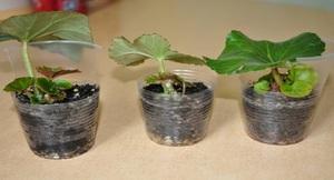 Как размножать вечноцветущую бегонию деление стеблевыми черенками, размножение семенами, уход за