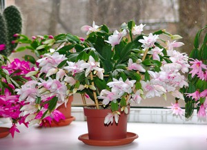 Домашний цветок зигокактус