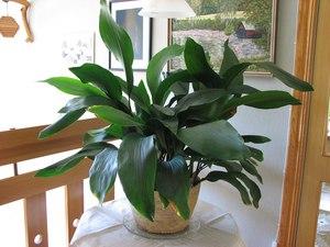Комнатное неприхотливое растение