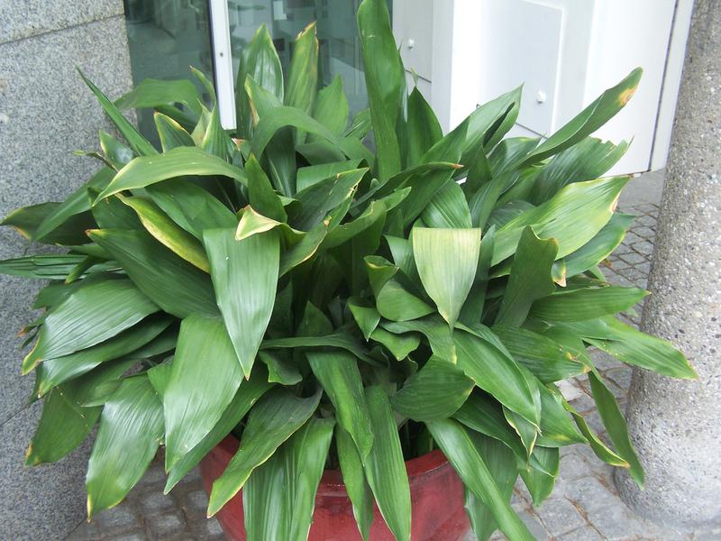 Аспидистра с темно-зелеными листьями