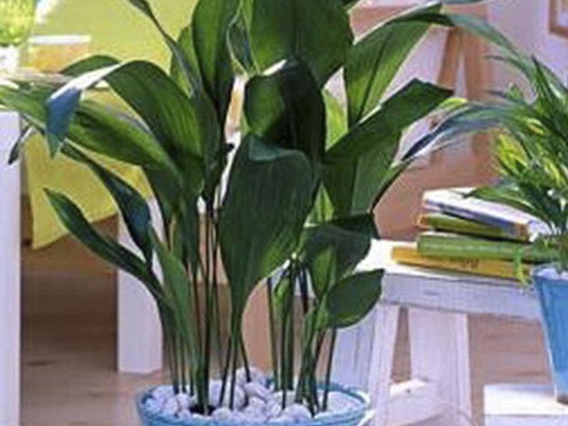 Неприхотливое растение аспидистра