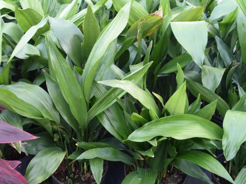 Сорта растения аспидистра
