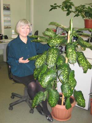 Домашнее растение диффенбахия - ядовито, ухаживать за ней нужно в перчатках.
