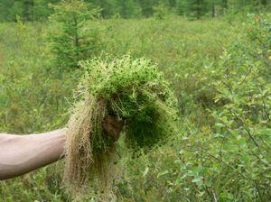 мох сфагнум фото где растет