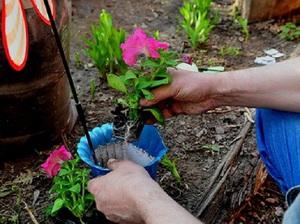 Как правильно выращивать петунии: чем подкормить рассаду для роста, правила внесения удобрений