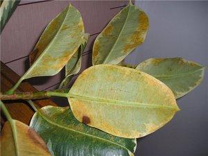 Что делать, когда в домашних условиях опадают и желтеют листья у фикуса Бенджамина: основные причины
