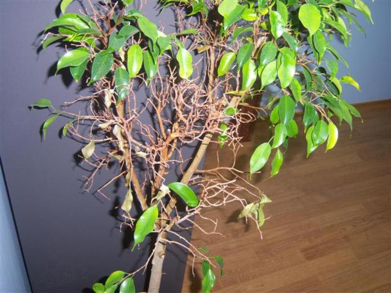 Фикус сбрасывает листья и желтеет