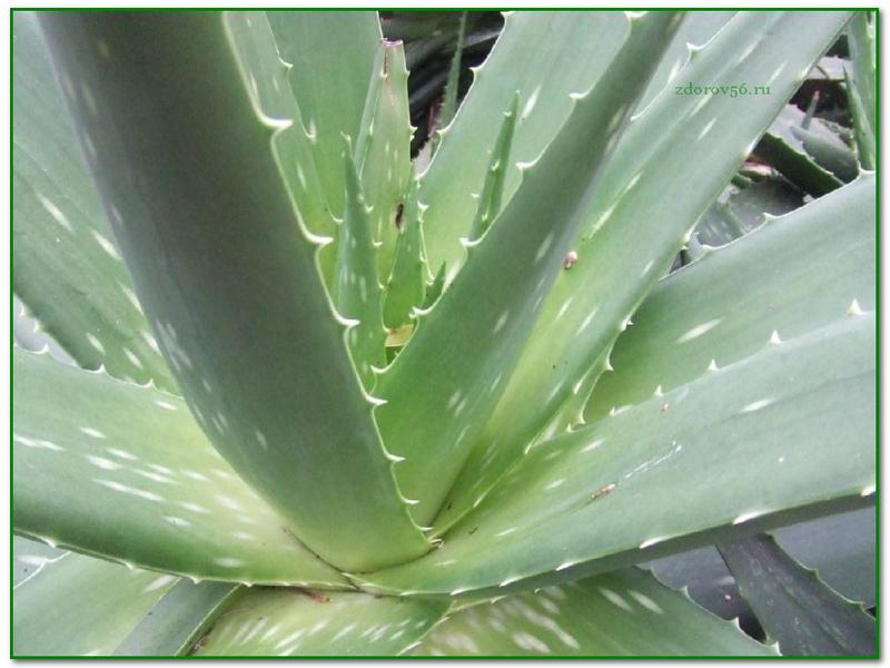 особенности строения листьев комнатных растений алоэ