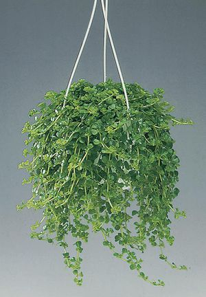 комнатные растения листовые фото и названия