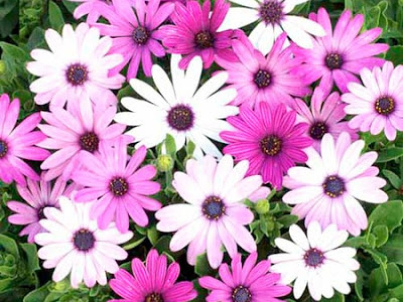 Рассада цветов - Остеоспермум