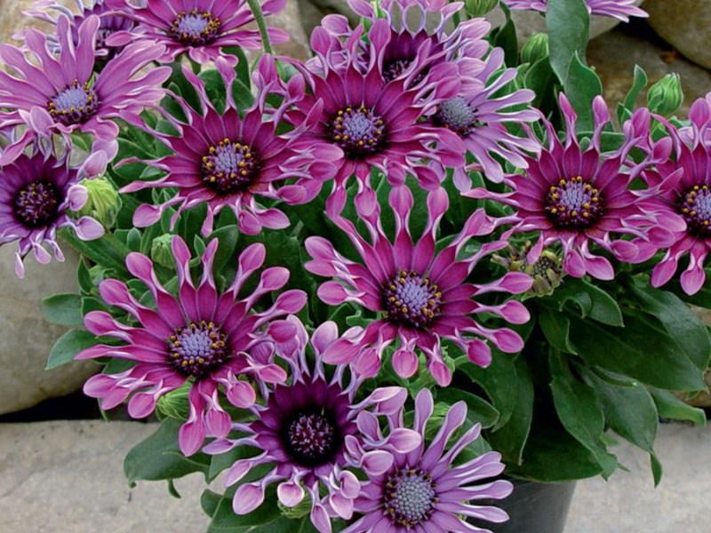 Разведение цветка остеоспермума