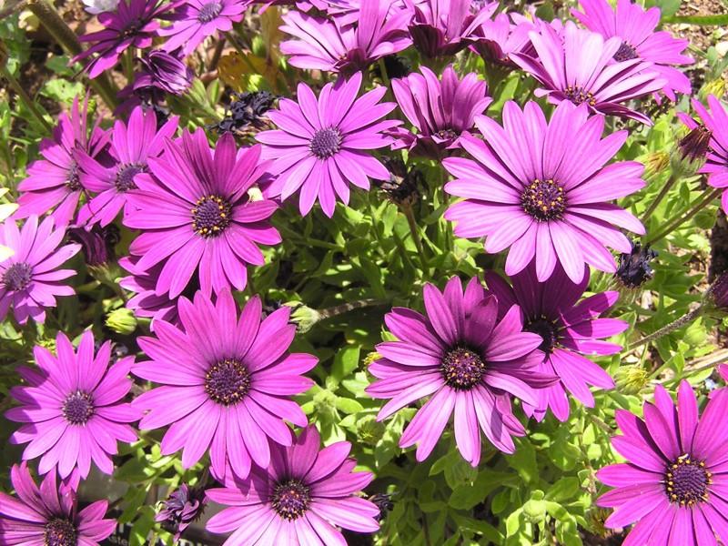Маргаритки цветов и уход 41