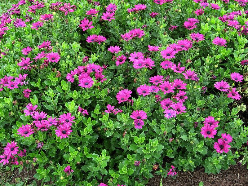 Особенности выращивания остеоспермума