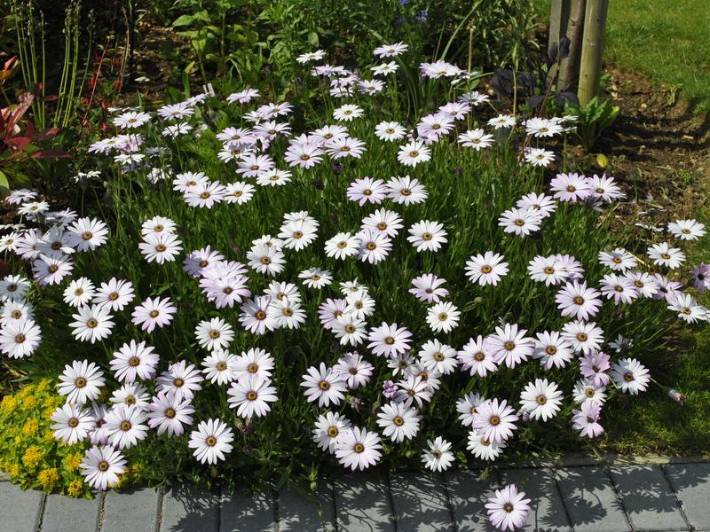 Как выглядит цветок остеоспермум